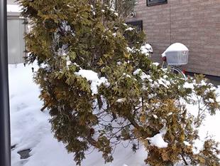 42雪止め:植木