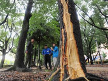 雷災害:樹木